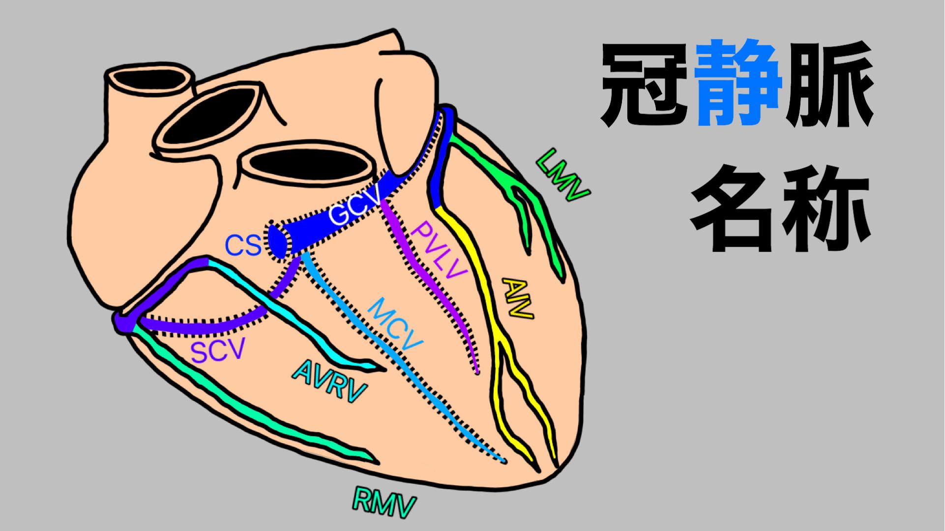 冠静脈,解剖