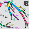正しい冠動脈の番号と見分け方